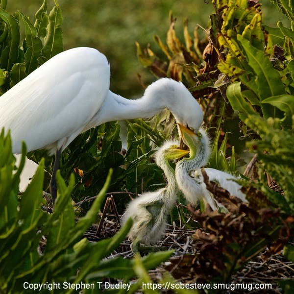 great egret & hungry chicks 3