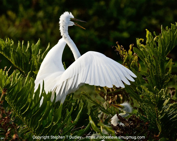 Great Egret & chick