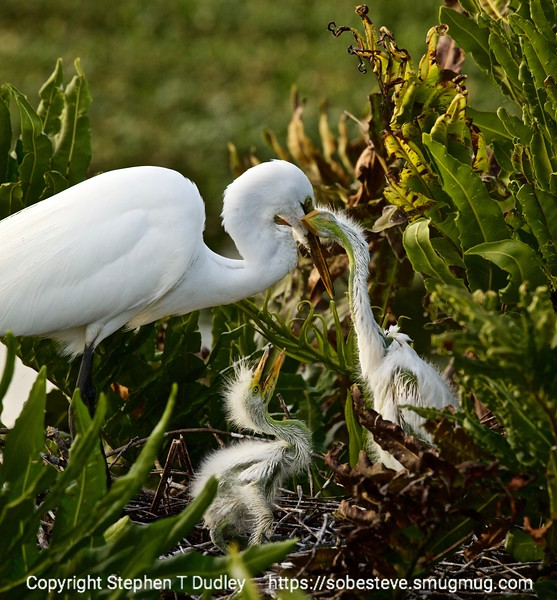 Great egret & hungry chicks
