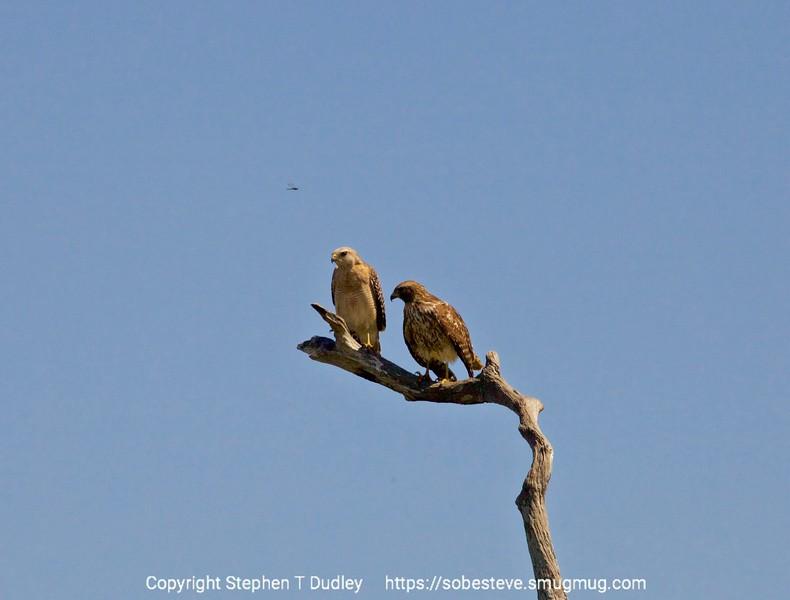 Pair of Red Shouldered Hawks