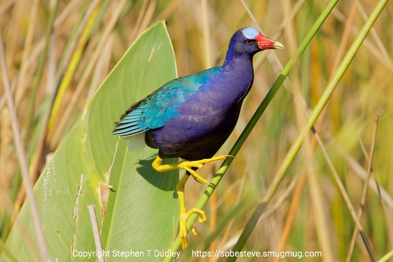 Purple Gallinule 6