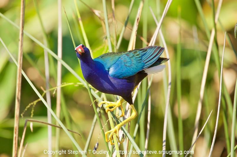 Purple Gallinule 4