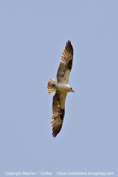 Osprey 3
