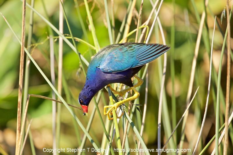 Purple Gallinule 5