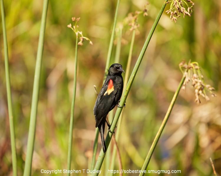 Red-winged Blackbird 2