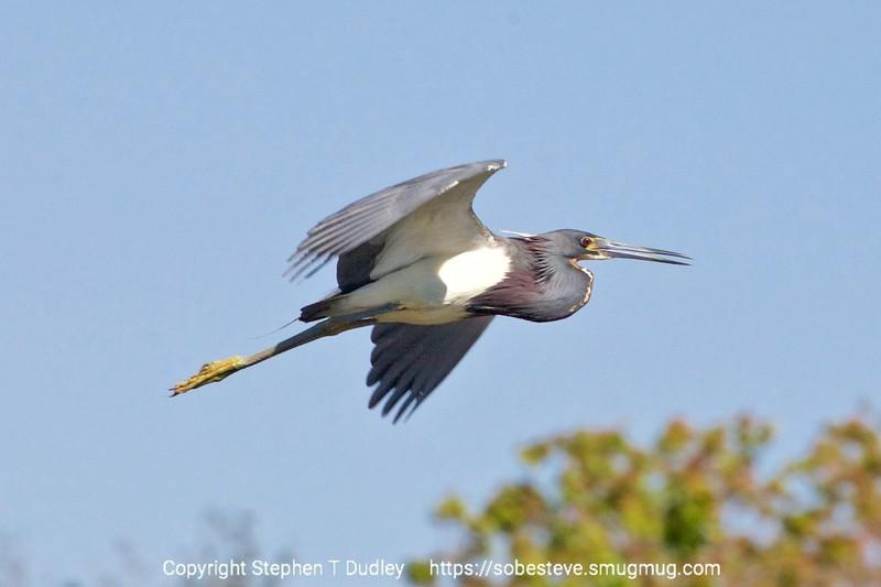 Tri-color heron in flight