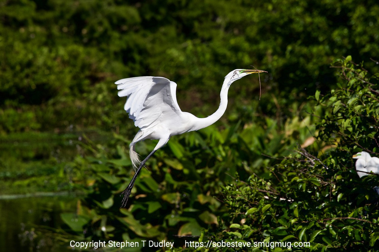 Great Egret w/twig 3