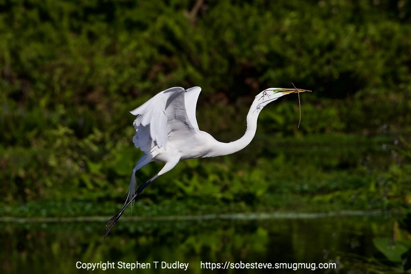 Great Egret w/twig 2