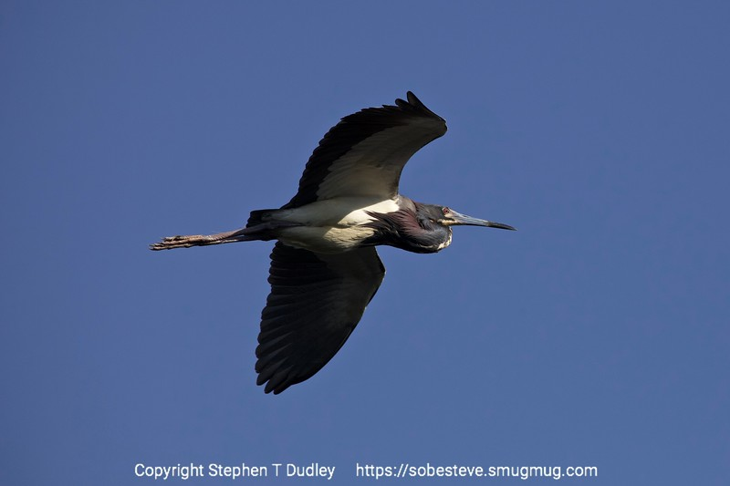 Tri-color heron in flight 2
