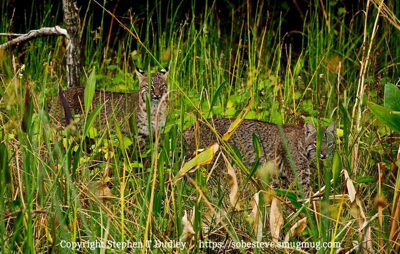 pair of bobcats