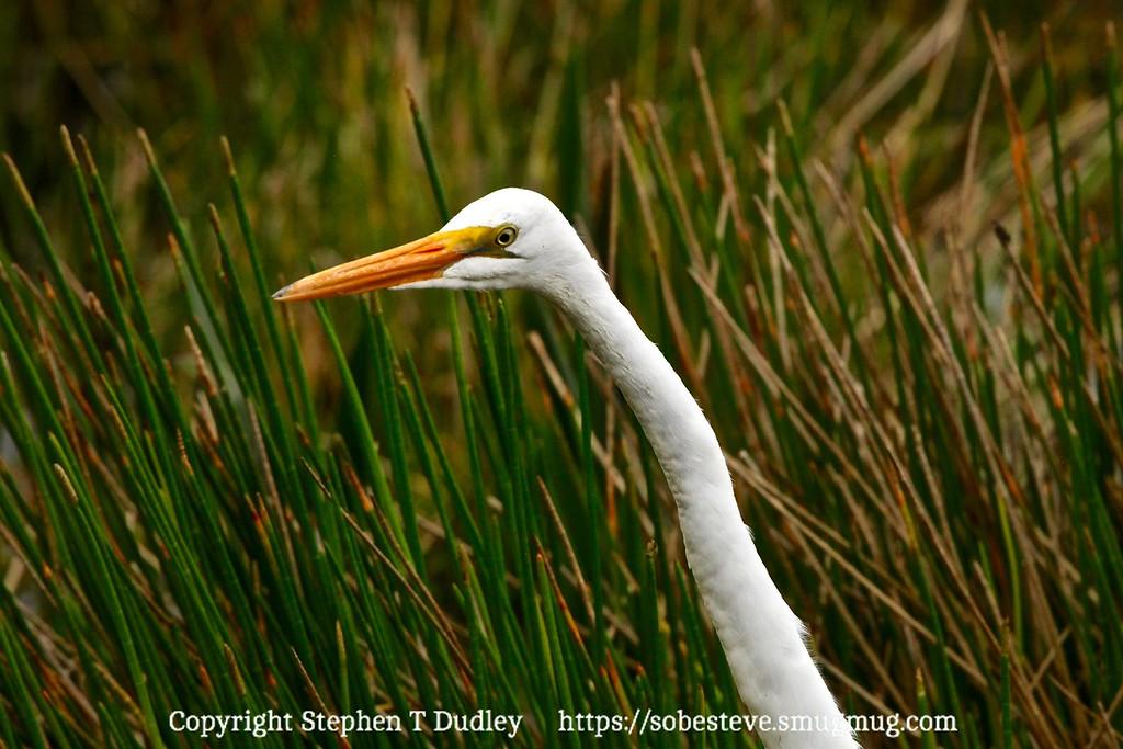 Great white egret 3