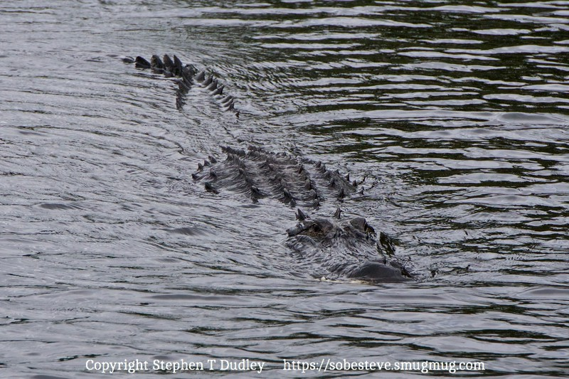 swimming gator 2, Heidi