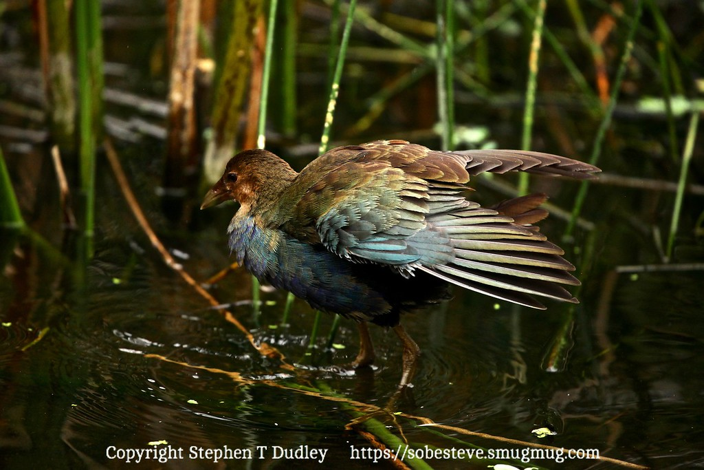 juvenile purple gallinule 5