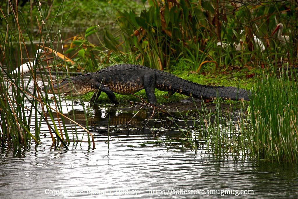 walking gator