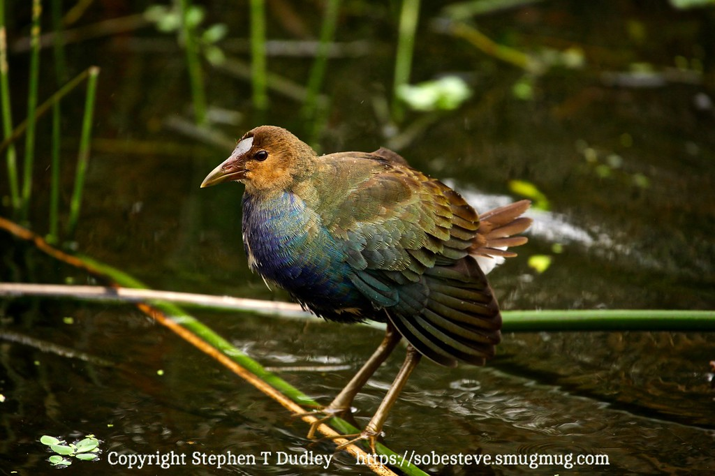 juvenile purple gallinule 2