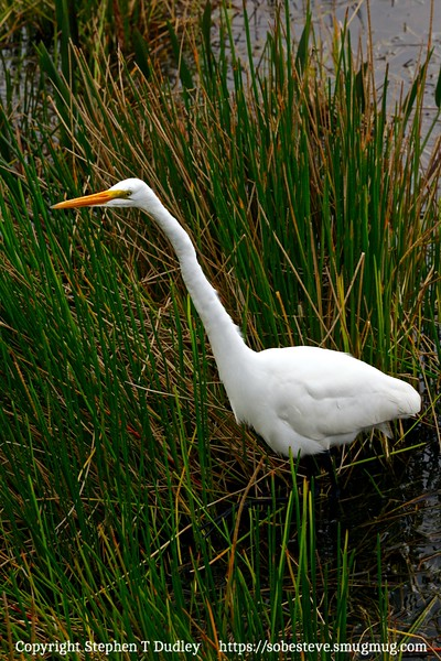 Great White Egret 4
