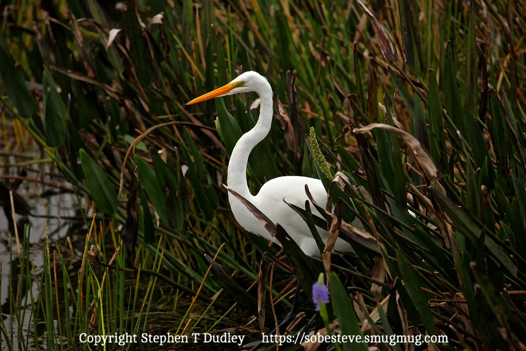 Great white egret 5