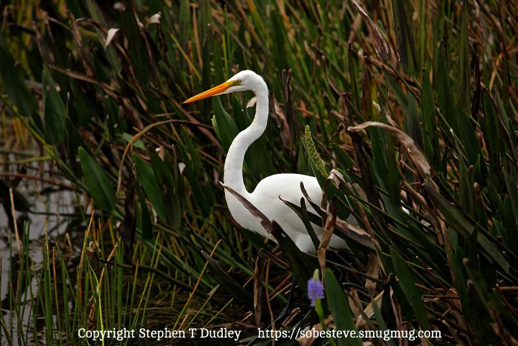 Great white egret 5