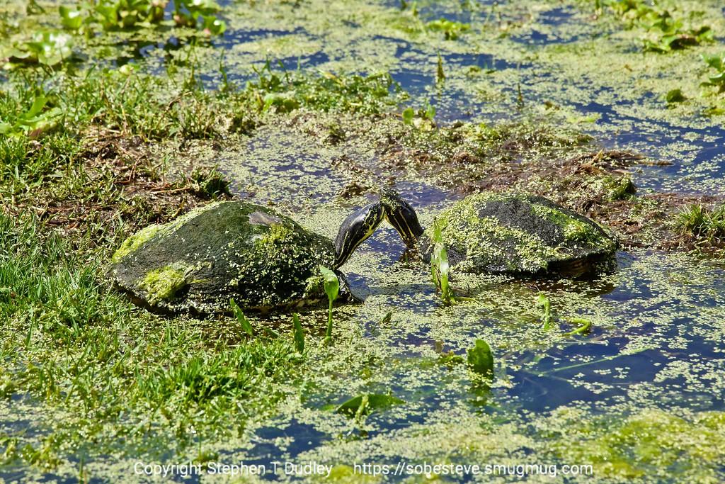 kissing turtles