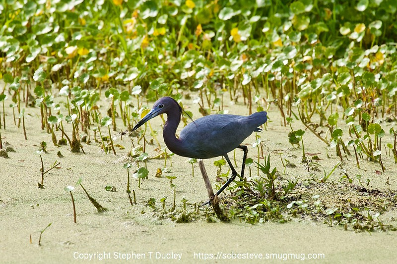 Little Blue Heron 4