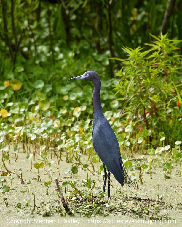 Little Blue Heron 3