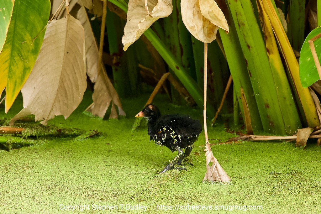 Moorhen chick 2