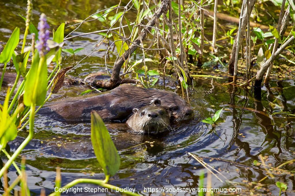 Pair of otter