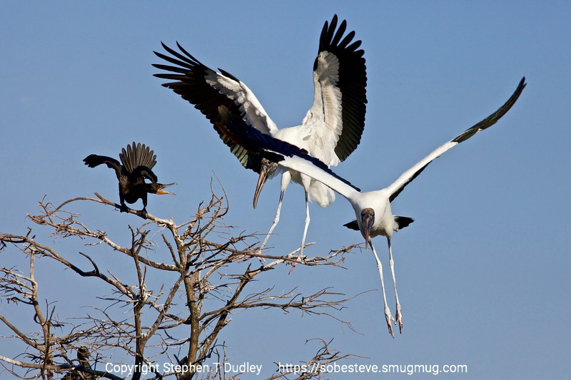 Great American Wood Storks & a  cormorant