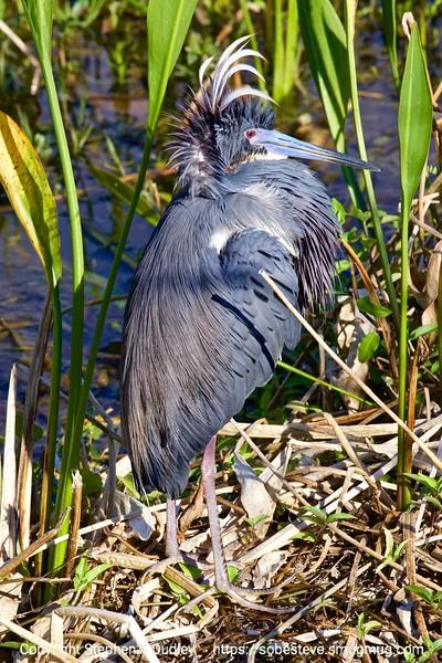 Tri-color Heron, mating plumage