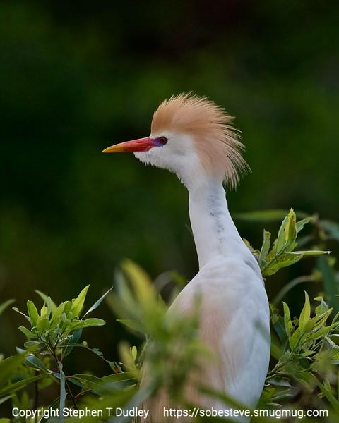 Cattle Egret 6