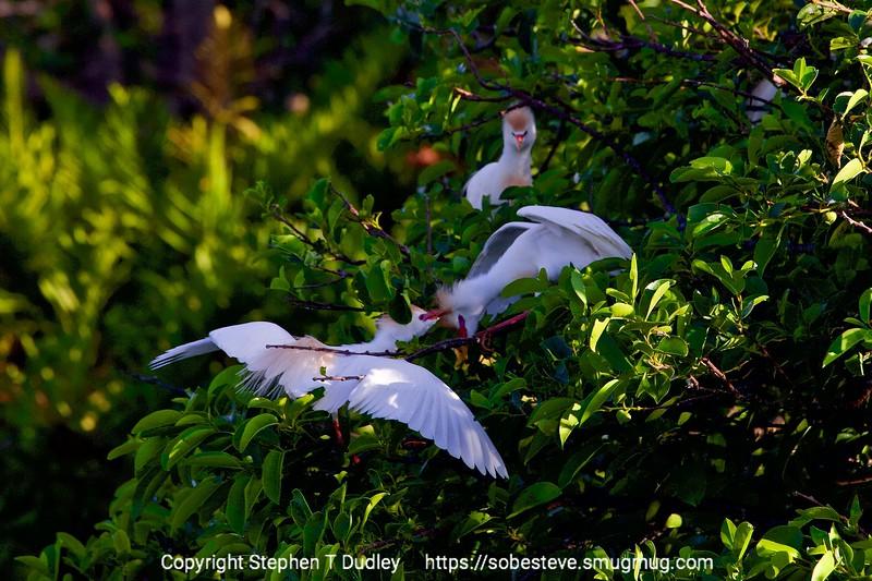 Cattle egrets fighting