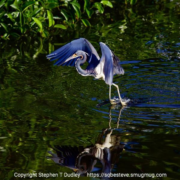 Tri-color heron take-off