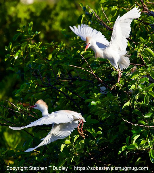 Cattle egrets near nests 5