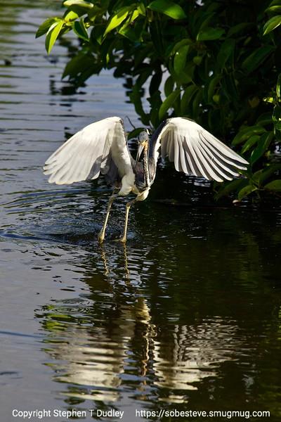 Tri-color heron takeoff 2