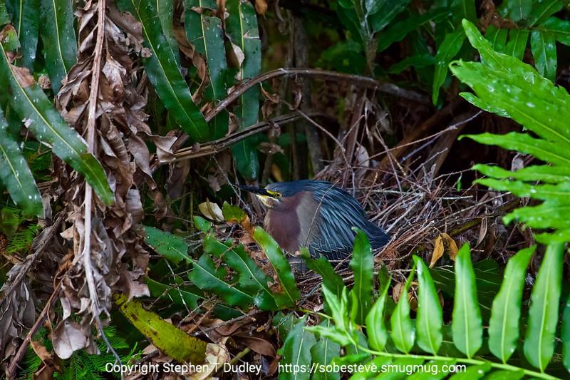 Green heron on nest