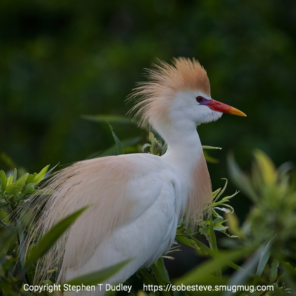Cattle Egret 4