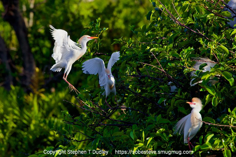 Cattle egrets near nests 2