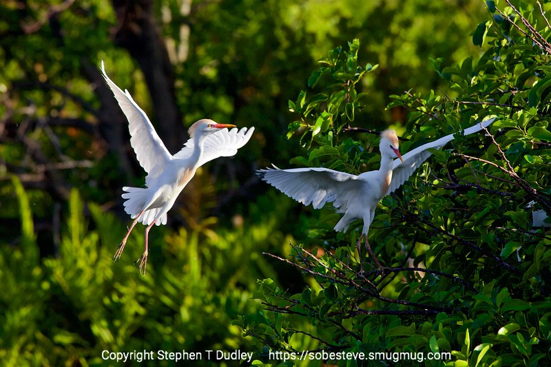 Cattle Egrets near nests