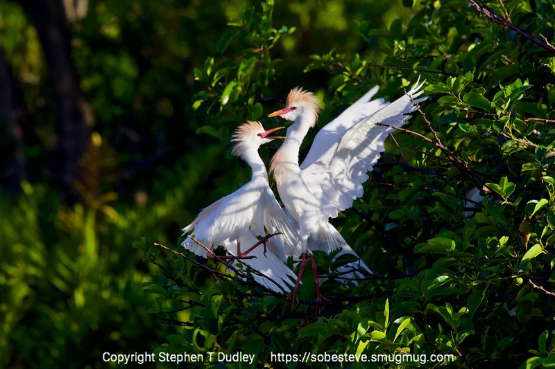 Cattle Egrets fighting 4