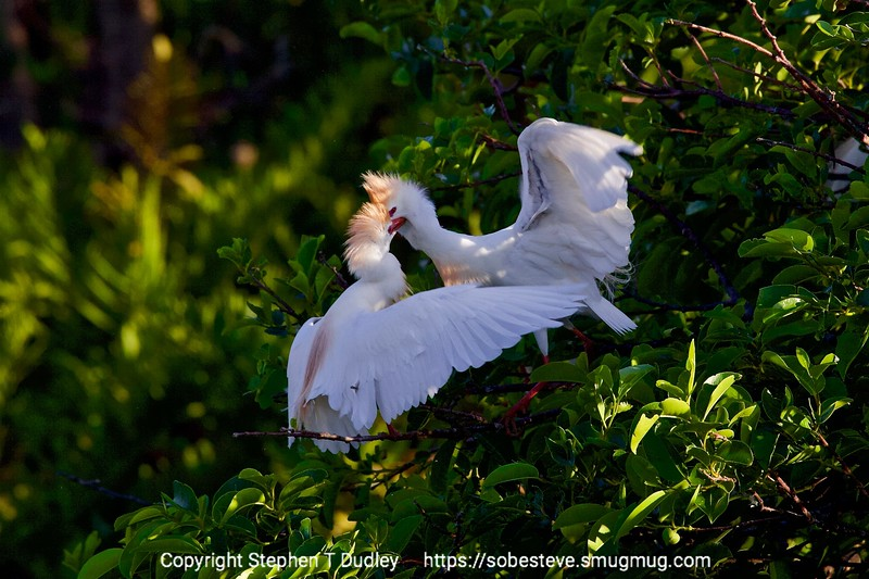 Cattle Egrets fighting 3