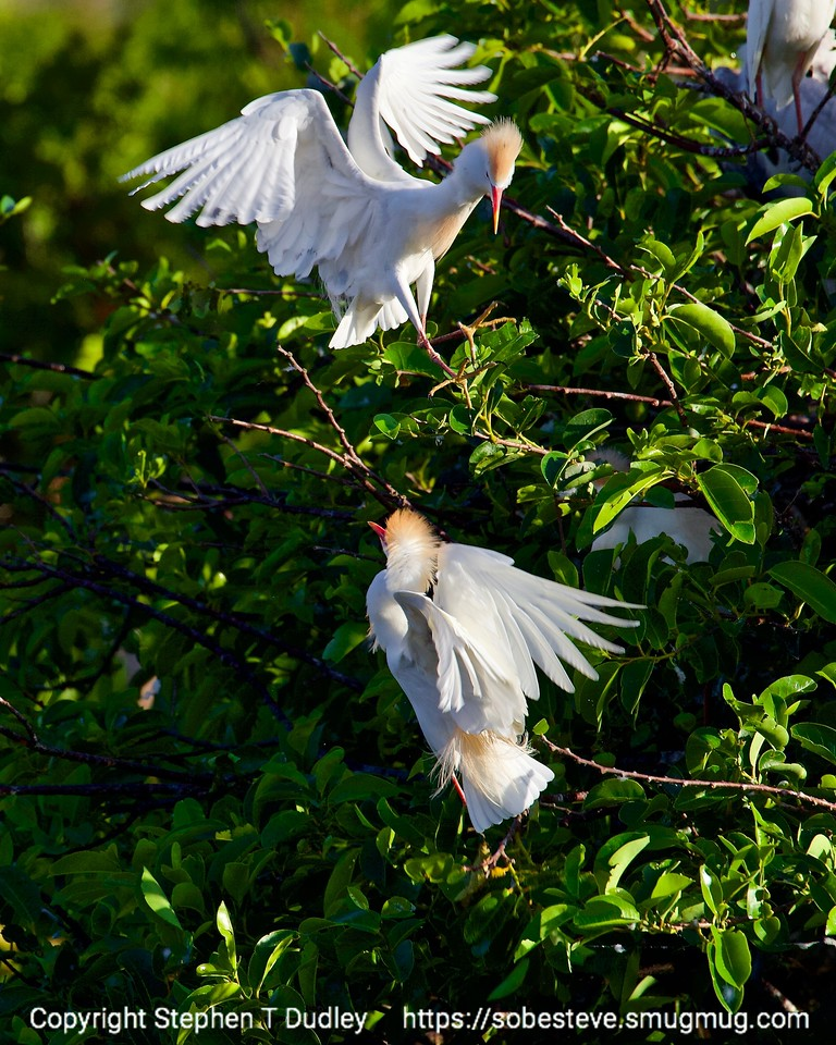 Cattle egrets near nests 4