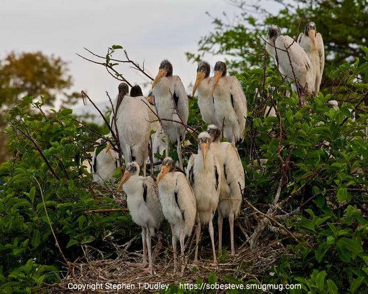 Baby Wood Storks