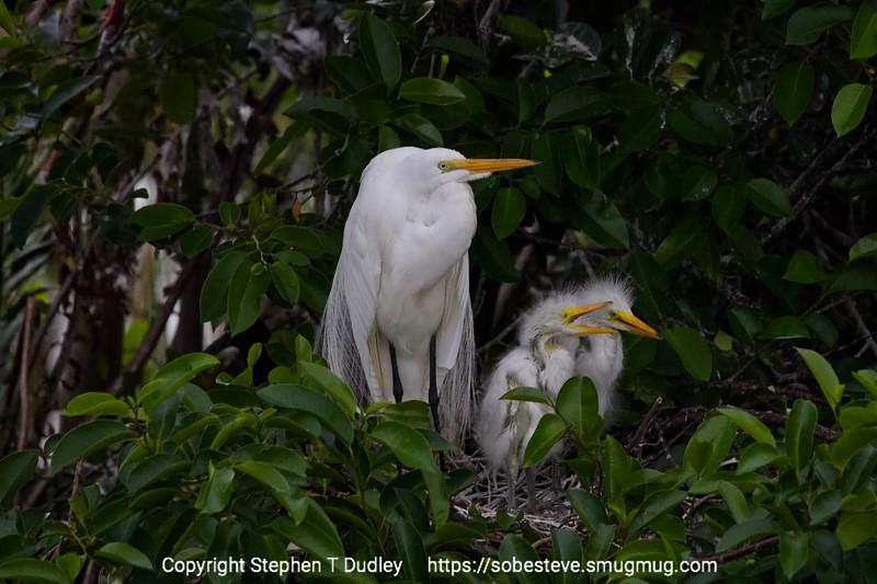 Great Egret & chicks 2