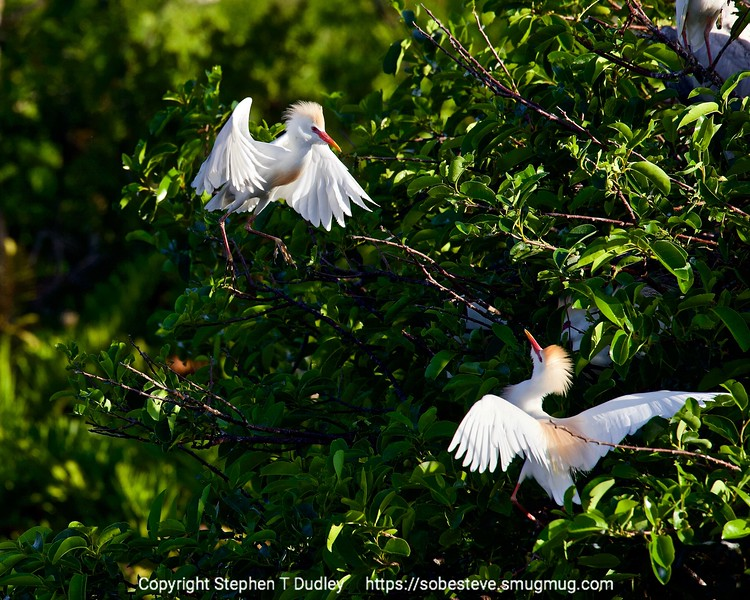 Cattle egrets near nests 3