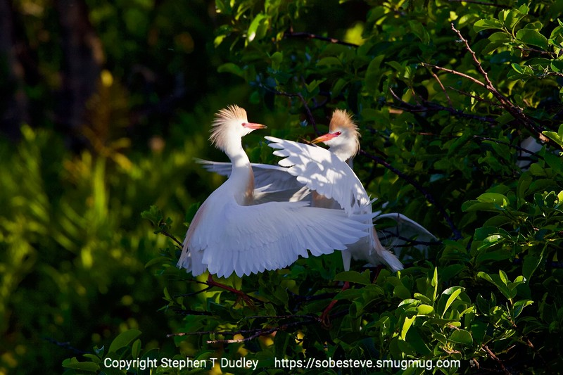 Cattle egrets fighting 2