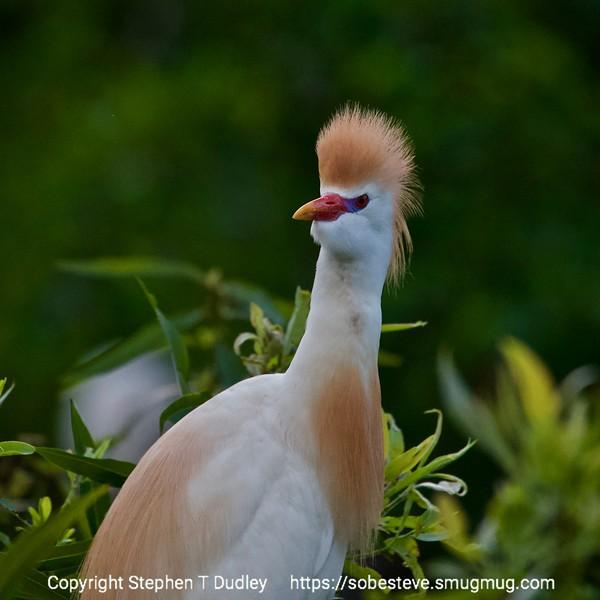 Cattle Egret 5