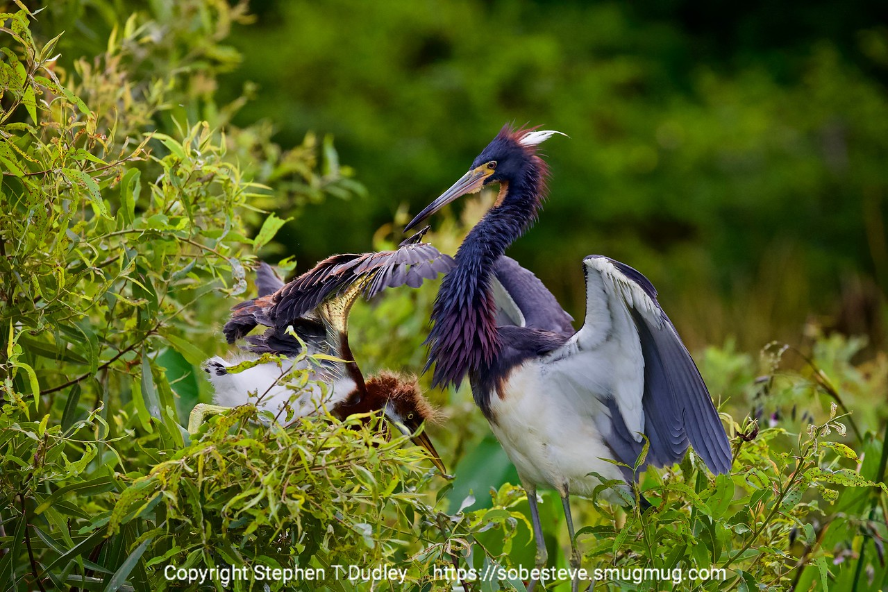 tri-color heron & chick