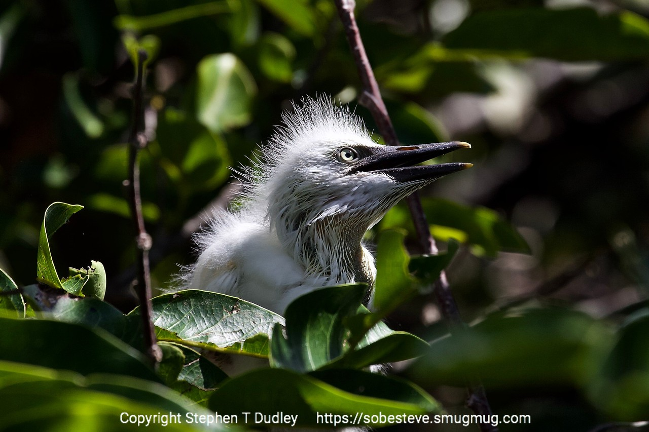 Cattle egret chick