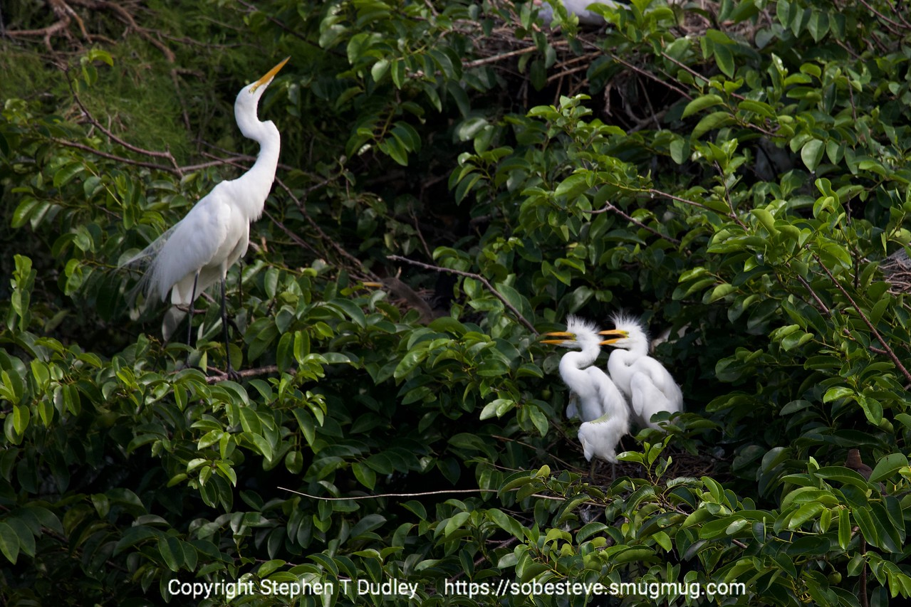 Great egret & 2 chicks