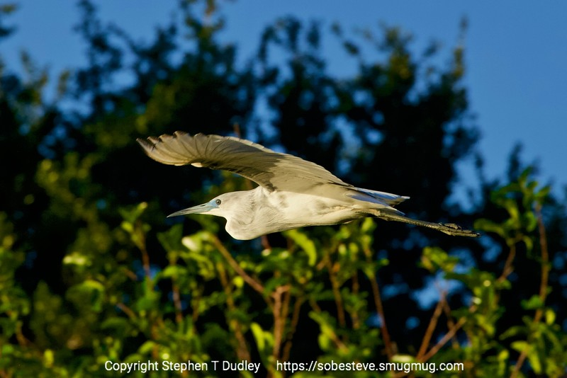 Juvenile, Little Blue Heron in flight
